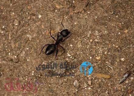 شركة مكافحة النمل الاسود